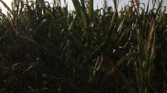 Corn field [glidecam] _29 Stock Footage