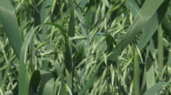 Common oat plants, avena sativa - close up Stock Footage