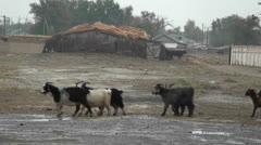 A farmer leads his goats through the rain in Uzbekistan. Stock Footage