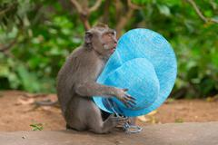 sly monkey with stolen hat - stock photo