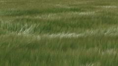 Hordeum vulgare - barley field waving in wind Stock Footage