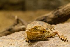 Stock Photo of portrait of a bearded agama.