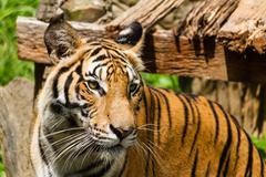 Tiikeri Kuvituskuvat