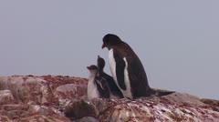 Penguin mother feeds babies in Antarctica. - stock footage