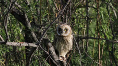Short-eared owl Stock Footage