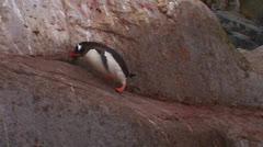 A penguin walks along a rocky path in Antarctica. - stock footage