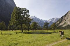 Austria, Karwendel, Pasture land, cow on path Stock Photos