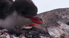 Tilt up of baby penguins as they are sheltered by their mother in Antarctica. Stock Footage
