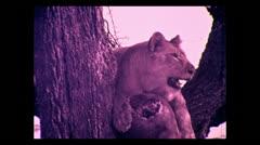 Lion panting in tree Serengeti, Tanzania 1937 - stock footage