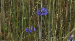 Blue blooming cornflowers in waving rye field - close up Stock Footage