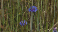 Stock Video Footage of Blue blooming cornflowers in waving rye field - close up