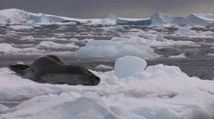 An elephant seal lies on a receding glacier in Antarctica. Stock Footage