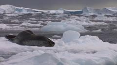 An elephant seal lies on a receding glacier in Antarctica. - stock footage