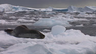 Stock Video Footage of An elephant seal lies on a receding glacier in Antarctica.