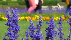 Germany Munich Hofgarten Palace garden Lavender flower blossom Stock Footage