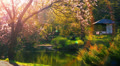 Japanese garden at sacura blossoming time. Footage