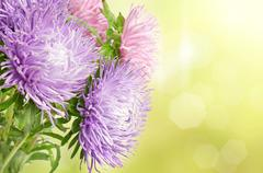 Aster flowers Stock Photos