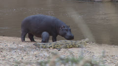 A baby hippo joins mother in chasing away a crocodile from a common bank 1 Stock Footage