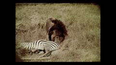 Lion on zebra kill, Tanzania 1937 Stock Footage