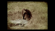 Stock Video Footage of Lion on zebra kill, Tanzania 1937