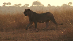 A young male lion walking through grass in the morning sunlight Stock Footage