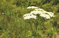 Stock Photo of achillea millefolium (yarrow)