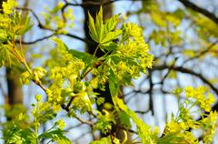 Stock Photo of spring maple