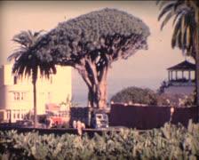 8MM SPAIN rare Dragon tree (dracaena) on Tenerife Island Stock Footage