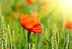 red poppy in a green wheat field - stock photo