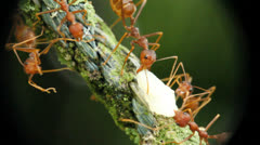 Ants Carry Food Stock Footage