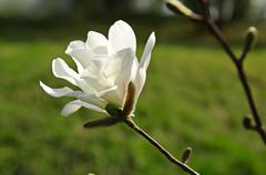 Magnolia flowers - stock photo