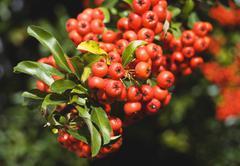 Stock Photo of Rowan berries (Sorbus aucuparia), close up