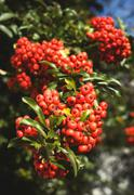 Stock Photo of Rowan berries (Sorbus aucuparia), close up