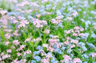 Stock Photo of forget-me-not flowers