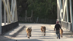 Walking cows over a bridge in Mestia Stock Footage