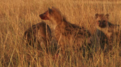 Hyenas eating a gnu Stock Footage