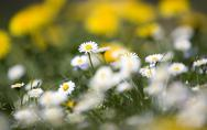 Stock Photo of Daisies (Asteraceae) flowering, close-up