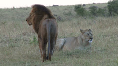 Lion and lioness possing together Stock Footage