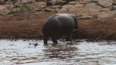 hippos coming out of the water - stock footage