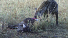 Hyenas eating a gnu 1 Stock Footage