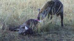 Hyenas eating a gnu 1 Stock Footage
