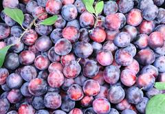 Large ripe plums in large quantities. Stock Photos