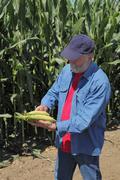 Stock Photo of agronomist examine corn cob