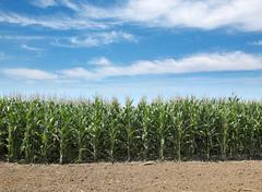 agriculture, corn field - stock photo