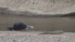 mother and baby hippo entering river with a croc watching - stock footage