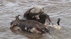 Vultures eating a dead gnu 2 Stock Footage