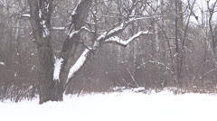 Snowy Elm Tree and Birch Forest HD Video - stock footage