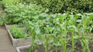 Stock Video Footage of potatoes, sweetcorn and courgettes growing in home vegetable patch