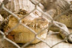 Krokotiili Kuvituskuvat