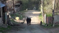 Walking cows through streets of Mestia Stock Footage